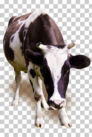 Holstein Friesian Cattle Jersey Cattle Milk Dairy Cattle Ox PNG
