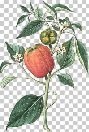 Bell Pepper Botany Drawing Bush Tomato Chili Pepper PNG