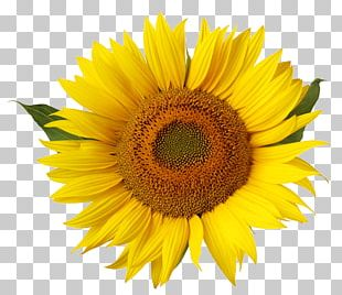 Common Sunflower Yellow Stock Photography Stamen PNG