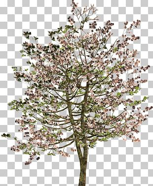 Tree Shrub Twig PNG