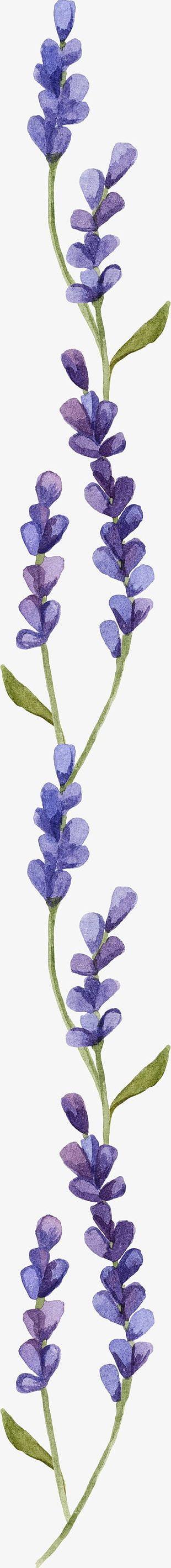 Lavender PNG