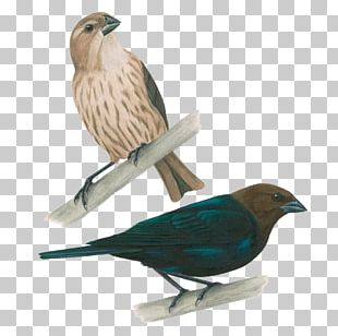 Brown-headed Cowbird Sparrow Common Starling Bird Nest PNG