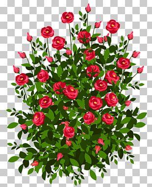 Bush Roses Drawing Shrub PNG