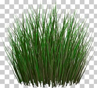 Grasses Lawn Ornamental Grass Fountain Grass PNG