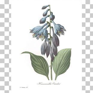 Flowers Roses Botanical Illustration Botany PNG