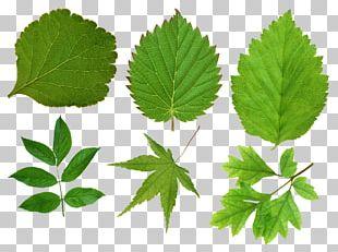 Leaf Resolution PNG