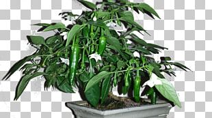 Cayenne Pepper Chili Pepper Fatalii Padrón Peppers Bonsai Styles PNG