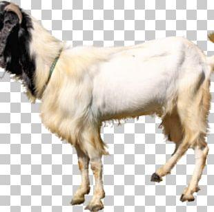 Jamnapari Goat Aqiqah Livestock Goat Farming Qurbani PNG
