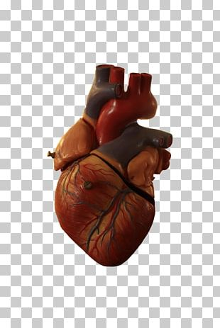 Heart Anatomy Organ PNG