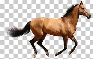 American Quarter Horse Friesian Horse PNG