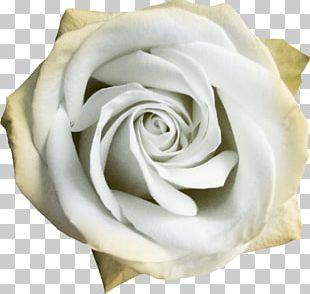 Garden Roses Centifolia Roses Beach Rose White Flower PNG