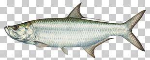 Tarpon Springs Boca Grande Tarpon Fishing Charters The Tarpon Recreational Fishing PNG