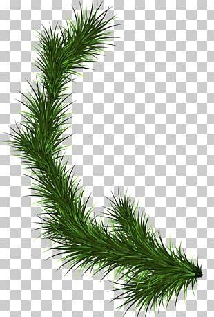 Branch Fir Tree Pine PNG
