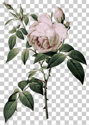Les Roses French Rose Botanical Illustration Botany PNG