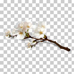 National Cherry Blossom Festival Flower PNG