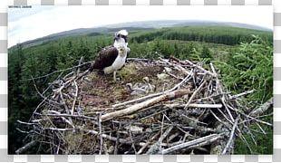 Bird Of Prey Bird Nest NEST+m Fauna PNG