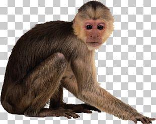 Monkey Desktop PNG