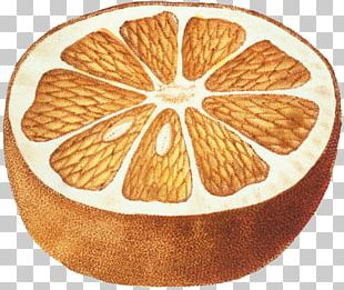 Fruit Botany Drawing Botanical Illustration PNG