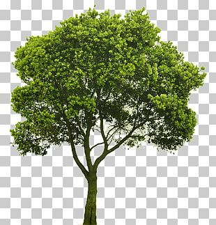 Tree Shrub Rendering PNG