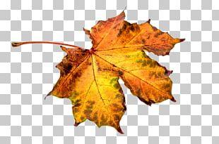 Autumn Leaf Color Eastern Black Walnut Maple Leaf PNG