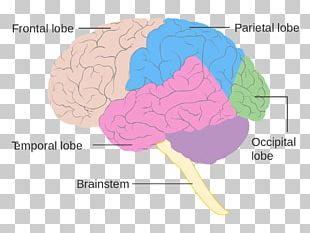 Lobes Of The Brain Frontal Lobe Diagram Human Brain PNG