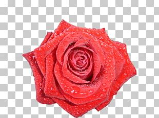 Garden Roses Red Roses PNG