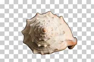 Sea Snail Conch Scallop PNG