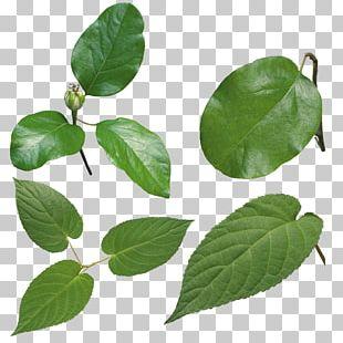 Leaf Look At Leaves PNG
