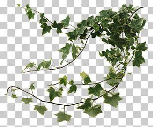 Common Ivy Houseplant Devil's Ivy Vine PNG
