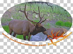 Elk Reindeer Antler Fauna Terrestrial Animal PNG