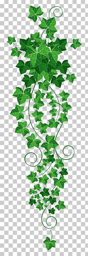Common Ivy Vine PNG