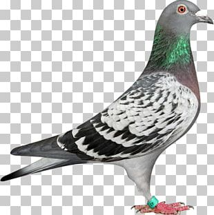 Homing Pigeon Racing Homer Columbidae Bird Fancy Pigeon PNG