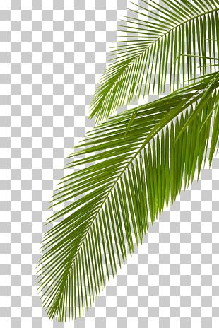 Arecaceae Leaf Stock Photography Palm Branch PNG