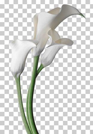 Arum-lily Flower Garden Lilies Bog Arum Madonna Lily PNG