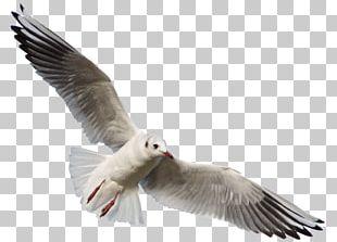 Bird Gulls Photography PNG