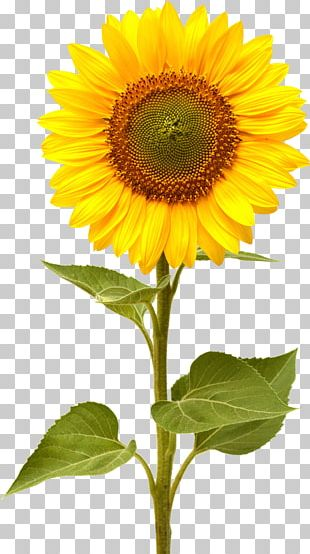 Common Sunflower Computer Icons PNG