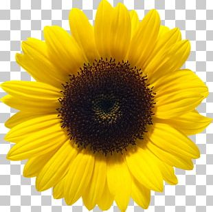 Common Sunflower Color PNG