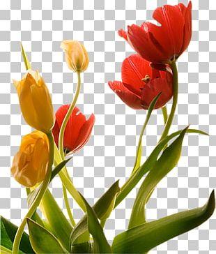 Tulip Flower Floraison Spring PNG