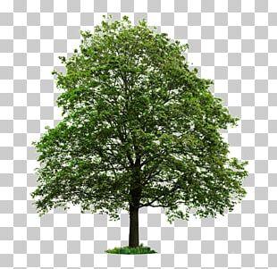 Populus Nigra Tree Desktop Stock Photography PNG