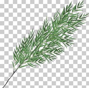 Twig Plant Stem Grasses Leaf Herb PNG