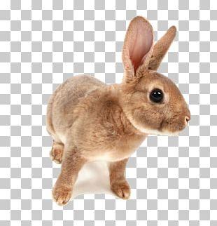 Domestic Rabbit Hare Netherland Dwarf Rabbit Holland Lop PNG