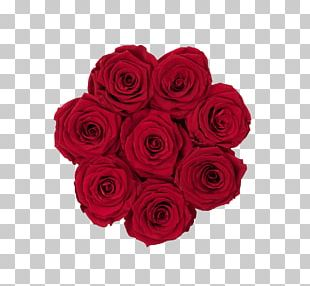 Garden Roses Cabbage Rose Cut Flowers Floribunda PNG