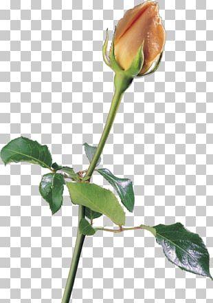 Garden Roses Petal Flower Beach Rose PNG