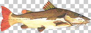 Redtail Catfish Fishing Tambaqui Piaractus Brachypomus PNG
