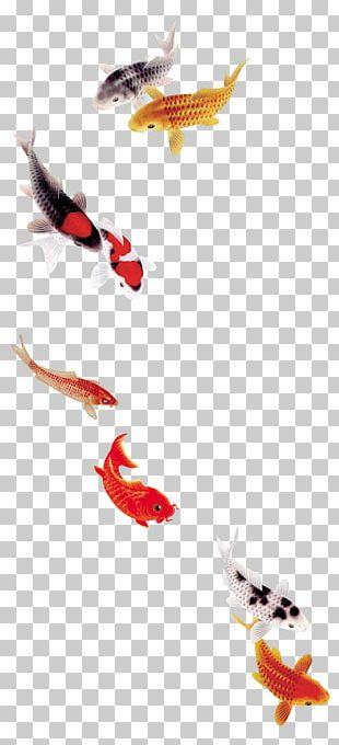 Koi Carassius Auratus Fish Template PNG