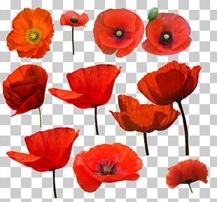 Common Poppy Watercolor Painting Drawing PNG