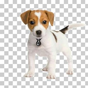 The Parson And Jack Russell Terriers Parson Russell Terrier Puppy PNG