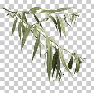 Salix Alba Askur Weeping Willow Tree Leaf PNG