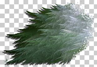 Evergreen Grasses Pine Leaf Family PNG