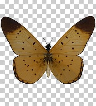 Butterfly Transparency And Translucency Moth PNG